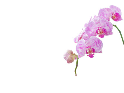 Orchid White Picture Material 6 Download Free Vector Psd