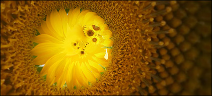 Sunflower picture background material-11