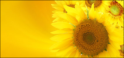 Sunflower picture background material-10
