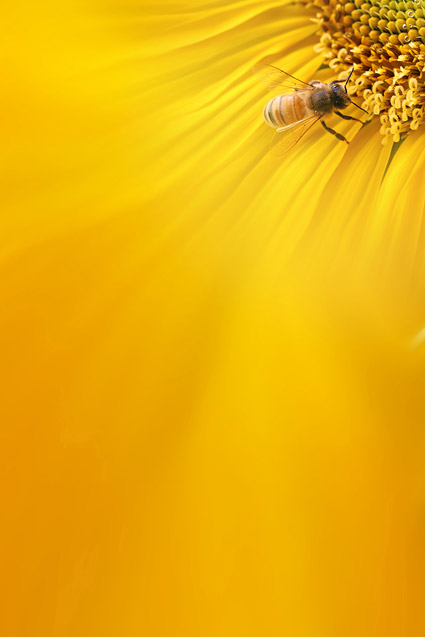 sunflower picture background material8 � over millions