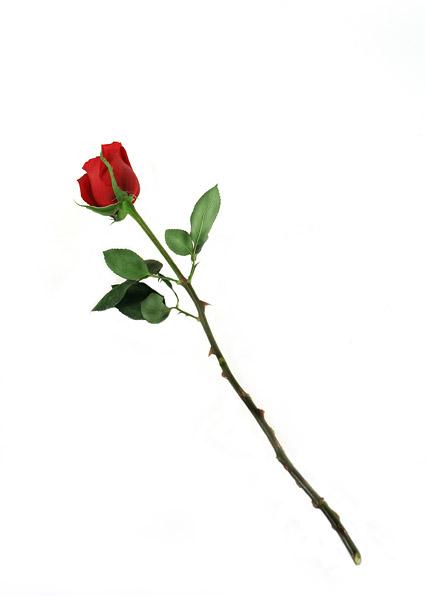 flowers roses red. roses, red roses, flowers,