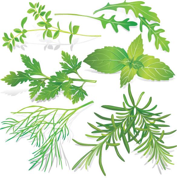 Herbal leaves 05-- vector material