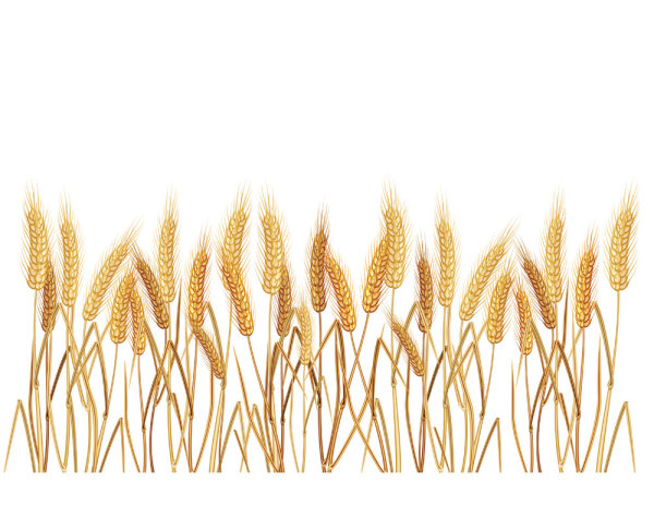 Yellow wheat 02-- vector material