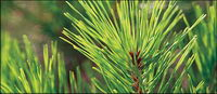 Hojas de pino cerca de material de imagen