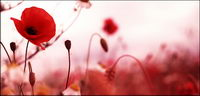 Rote Blume Blume Bildmaterial