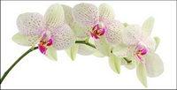 Orchid weiß Bildmaterial-4