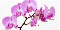 Orchid weiß Bildmaterial-3