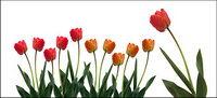 Tulip mat��riel photo