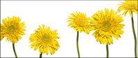 Yellow Daisy Bildmaterial