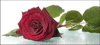 Big roses rouges mat��riel photo
