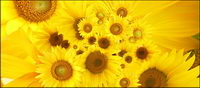 Tournesol image des documents de r��f��rence-4
