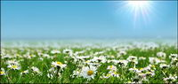 Wilde Chrysantheme Weiß-Bild Material
