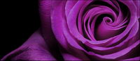 Purple rose close-up du mat��riel photo