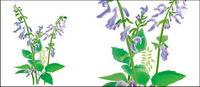 Hierbas medicinales chinas - vector Danxiong