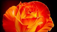 Rosas vector de material