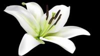 Lily vecteur mat��riel