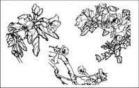 Dianthus superbus, Costas, West House Begonia, Aegiceras, des fleurs de radis