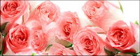 Un bouquet de roses roses mat��riel photo