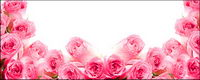 Pink roses-photo