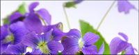 Elegante lila Blumen Bildmaterial