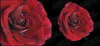 Vivid rosas rojas vector material