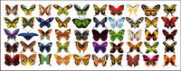 Vector Material exquisite Schmetterling