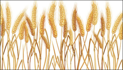 Yellow wheat 02– vector material
