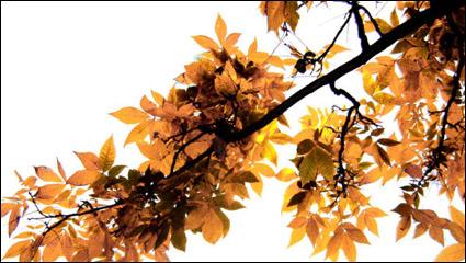 Link toBeautiful maple leaf 02 - hd picture