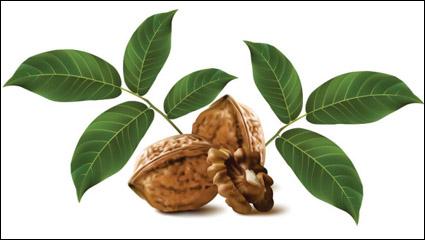 Realistic green walnut walnut 03 - vector