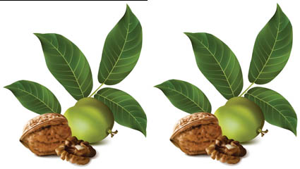 Link toRealistic green walnut 02 - vector