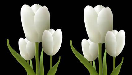 White tulips vector