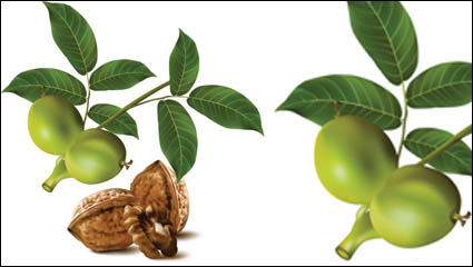 Realistic green walnut walnut 04 – vector material
