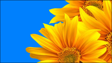 Realistic sunflower – vector