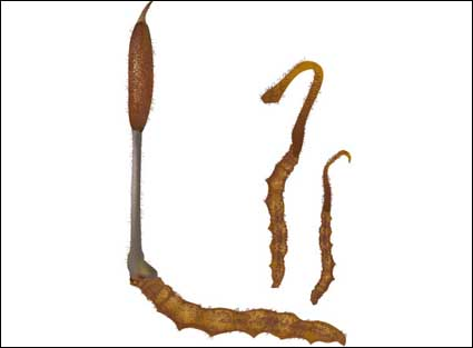 Link toVector cordyceps