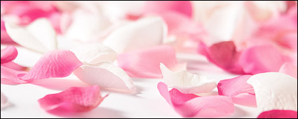 White Rose petal pink roses picture