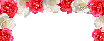 Red Rose White Rose-picture material