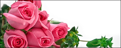 A bouquet of pink roses picture material